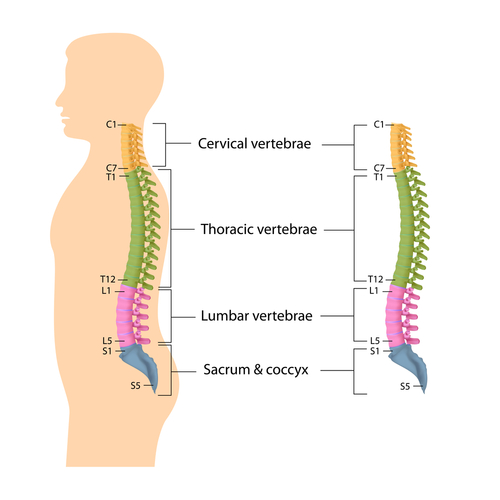 Spine Anatomy Lumbar Spine Cervical Spine Thoracic Spine