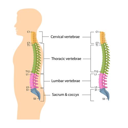 Spine Anatomy, Lumbar Spine, Cervical Spine, Thoracic ...
